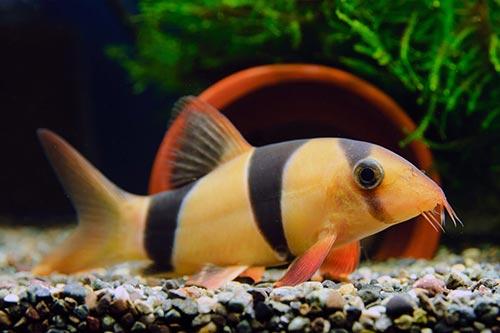 cá chuột mỹ
