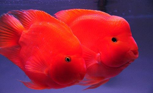 Cá hồng két Kingkong