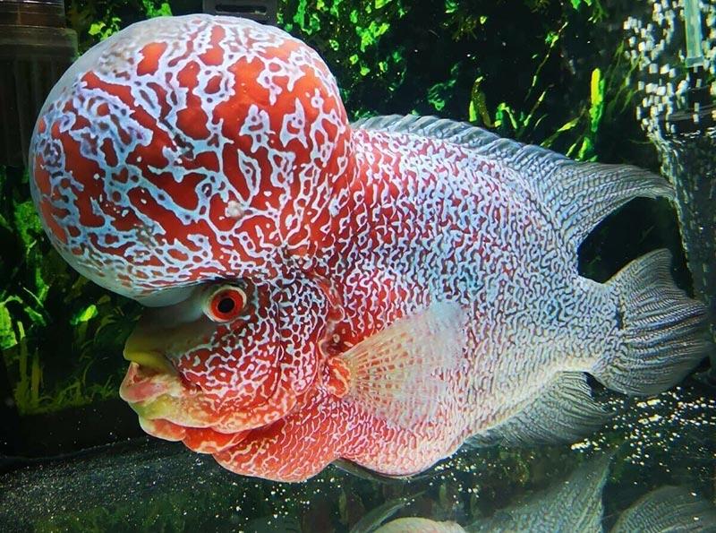 Cá La Hán đẹp phát triển tốt