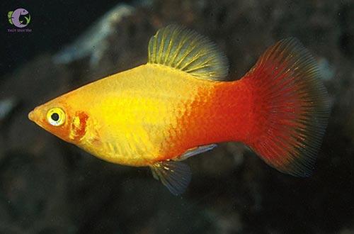 Cá Mun uyên ương