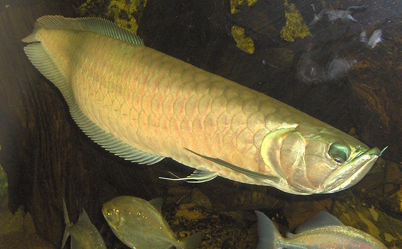 cá ngân long bị bệnh