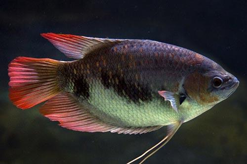 Cá Phát Tài đỏ