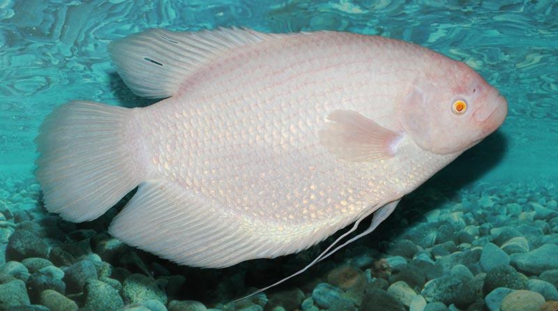 Cá Phát Tài đẹp