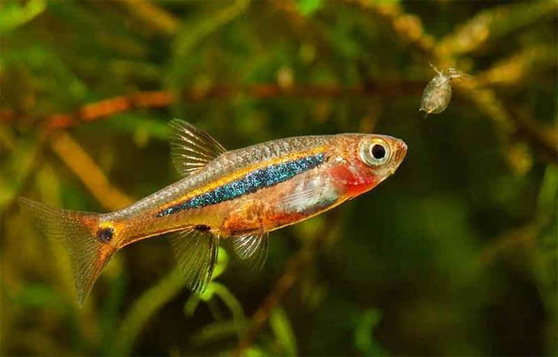 cá trâm ăn phù du và vi sinh