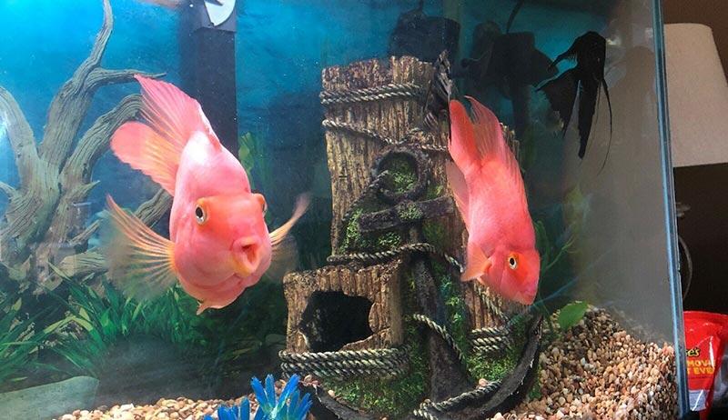 hồ cá hồng két