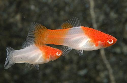 Cá Mun KOI