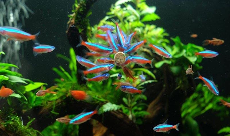 Cá Neon là gì? Tìm hiểu nguồn gốc, đặc điểm và giá bán cá hiện nay