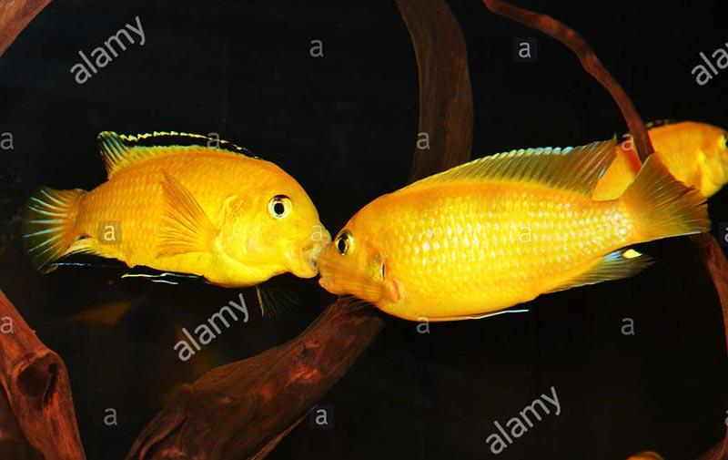 Cá ali ráp cặp