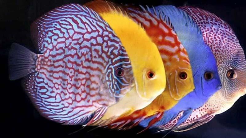 Thức ăn ảnh hưởng đến màu sắc cá dĩa