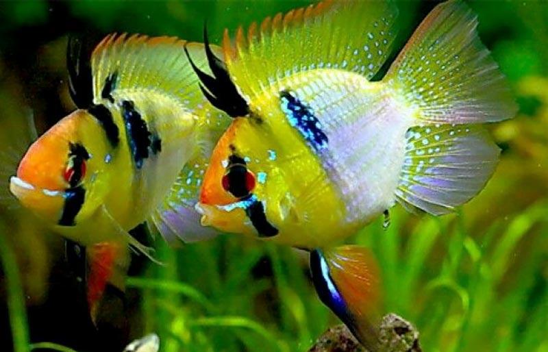 Cá phương hoàng có màu sắc khá đặc biệt