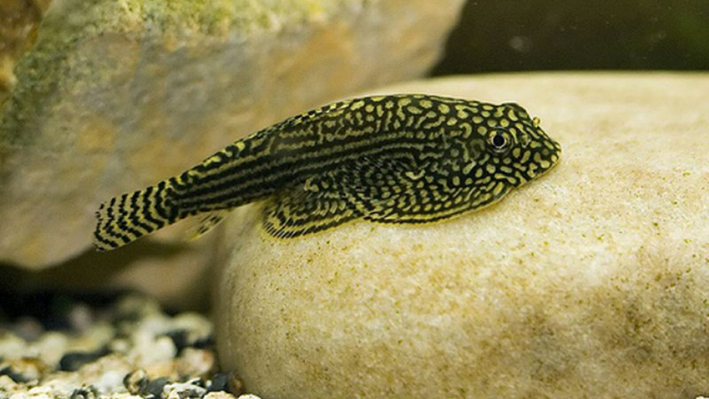 Cá Tỳ Bà - Thông tin đặc điểm, cách chăm sóc